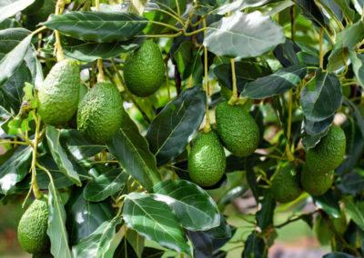 hillgro-avocado-avo-tree-nursery-sale-kzn-buy-south-africa-2