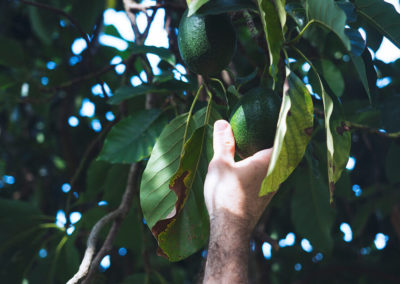 hillgro-avocado-avo-tree-nursery-sale-kzn-buy-south-africa-fresh