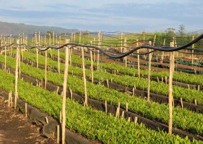 hillgro-macadamia-tree-nursery-sale-kzn-buy-south-africa-Seedling Bed1