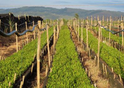 hillgro-macadamia-tree-nursery-sale-kzn-buy-south-africa-Seedling Bed2