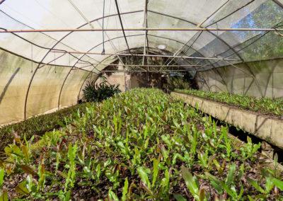 hillgro-macadamia-tree-nursery-sale-kzn-buy-south-africa-Seedling Bed42