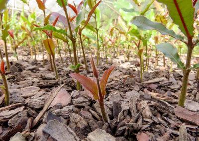 hillgro-macadamia-tree-nursery-sale-kzn-buy-south-africa-Seedlings48