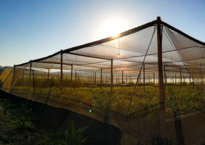 hillgro-macadamia-tree-nursery-sale-kzn-buy-south-africa-Shadehouse2