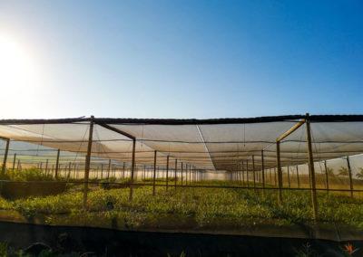 hillgro-macadamia-tree-nursery-sale-kzn-buy-south-africa-Shadehouse4