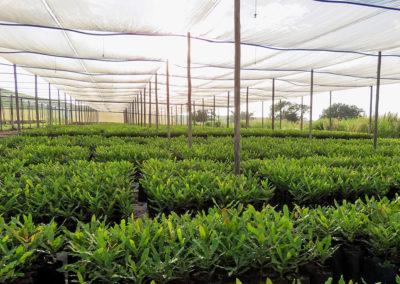 hillgro-macadamia-tree-nursery-sale-kzn-buy-south-africa-Transplants before graft1