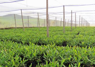 hillgro-macadamia-tree-nursery-sale-kzn-buy-south-africa-Transplants before graft2