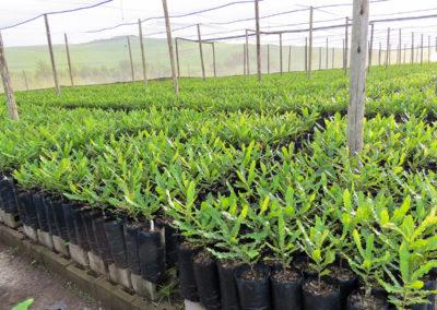 hillgro-macadamia-tree-nursery-sale-kzn-buy-south-africa-Transplants before graft3