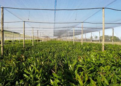 hillgro-macadamia-tree-nursery-sale-kzn-buy-south-africa-Transplants before graft4