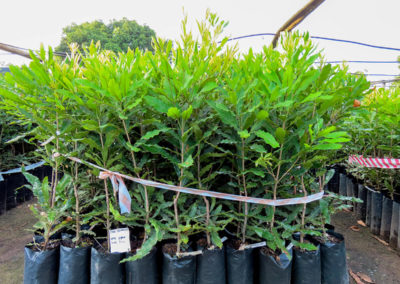 hillgro-macadamia-tree-nursery-sale-kzn-buy-south-africa-Trees for sale