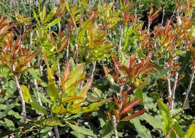 hillgro-macadamia-tree-nursery-sale-kzn-buy-south-africa-new grafts17