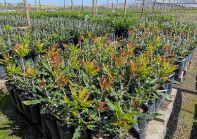 hillgro-macadamia-tree-nursery-sale-kzn-buy-south-africa-new grafts18