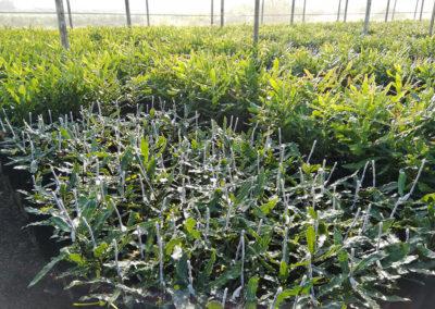 hillgro-macadamia-tree-nursery-sale-kzn-buy-south-africa-new grafts3