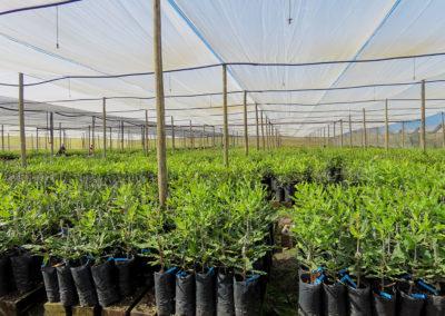 hillgro-macadamia-tree-nursery-sale-kzn-buy-south-africa-new grafts32