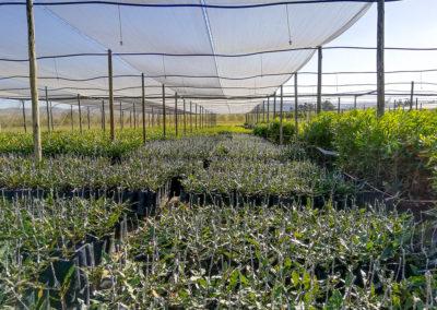 hillgro-macadamia-tree-nursery-sale-kzn-buy-south-africa-new grafts34