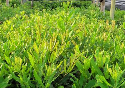 hillgro-macadamia-tree-nursery-south-africa-buy-Trees for sale2